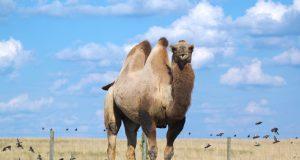 I cammelli di Porta Venezia a Milano, una storia unica