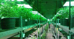 Milano, Cannabis terapeutica